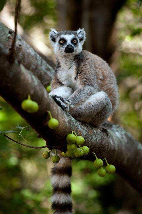 Документальный фильм «Остров лемуров: Мадагаскар»