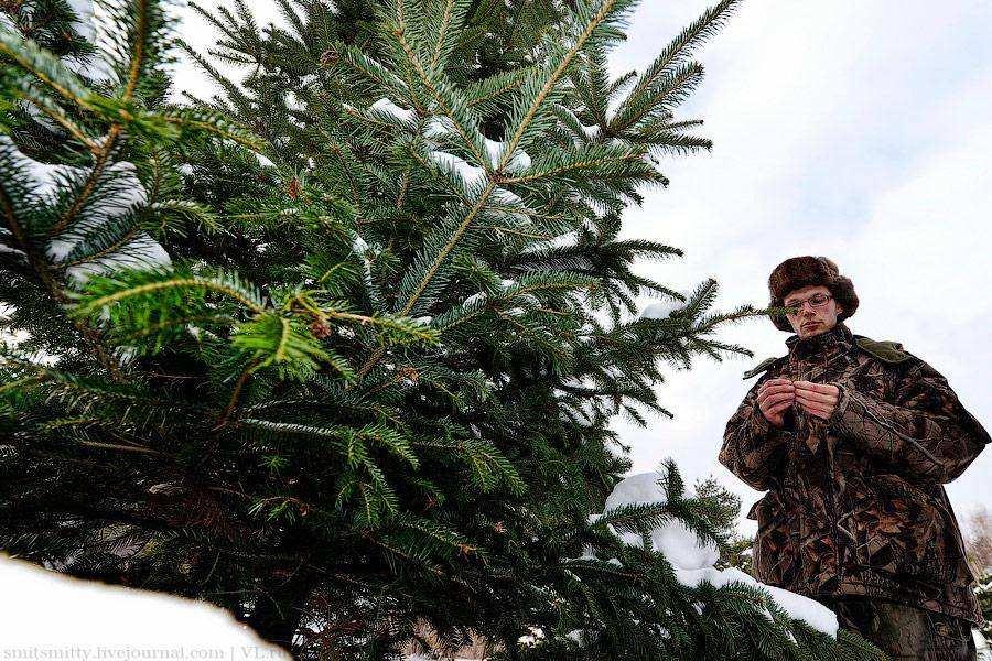 Питомник елок в Уссурийске
