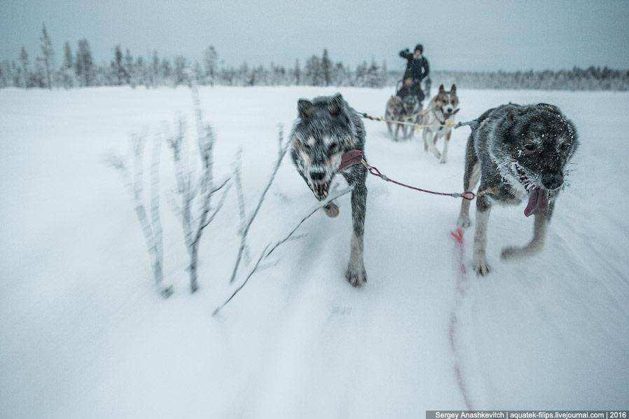 На собачьих упряжках при минус 25