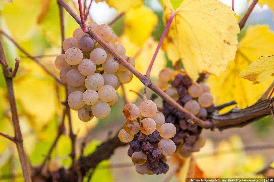 Осень на виноградниках Крыма