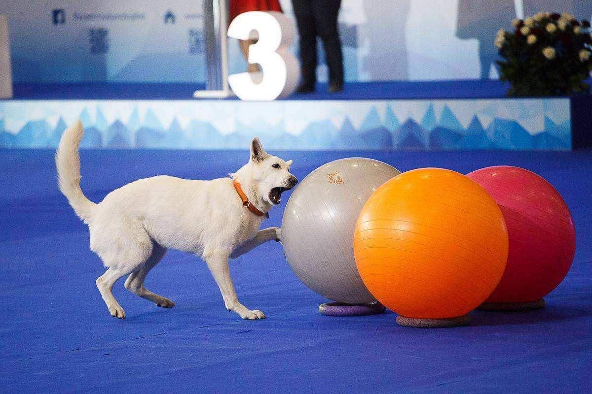 Выставка собак «Россия-2017»
