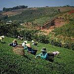 Сбор чая и добыча соли