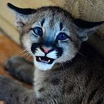 Трёхмесячный котёнок пумы в зоопарке «Чудесный» под Уссурийском